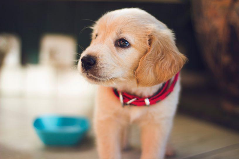 vlooien hond